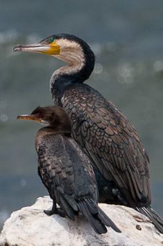 http://www.oiseaux.net/photos/catherine.et.bernard.lanneluc/images/cormoran.africain.cala.1p.jpg