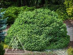 The Amazing World of Conifers Deer Proof Plants, Deer Resistant Plants, Picea Abies, Buy Plants Online, Lawn And Landscape, Landscape Design, Sun Perennials, Low Maintenance Landscaping, Palmiers
