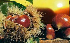 La polpa dei Marroni Del Monfenera Pederobba è di colore nocciola chiaro tendente al giallo paglierino, di consistenza pastosa, farinosa, dal sapore dolce e gradevole