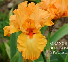 ~TB Iris germanica 'Orange Blossom Special' (Schreiner, 1999)