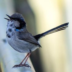 The Superb Fairywren (juvenile), also known as the Superb Blue-wren or colloquially as the Blue Wren, is common and familiar across southeastern Australia.