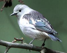 Purple Starling | Purple-backed Starling photo: A bird on a branch. | the Internet Bird ...