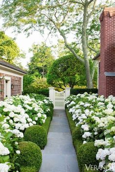 hydrangeas with a boxwood border...