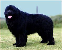 Newfoundland dog. He's like a big shaggy teddy bear!!