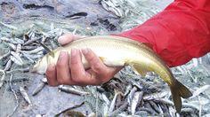 gran pesca pejerrey con red 2016