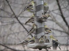 Until spring and summer flowers bloom, a birdfeeder provides nourishment for these goldfinches. Your garden will thank you for it, as will the birds and the bees. They need our help, too, to stay healthy and happy in our increasingly concrete society.