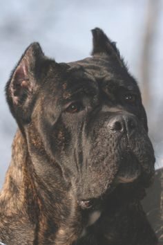 """Stumped by """"slightly convergent upper longitudinal axes""""? Specialist judge Massimo Inzoli demystifies the skull and muzzle planes in the Cane Corso. Modern Molosser  