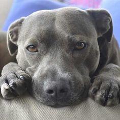 Beautiful #pitbull
