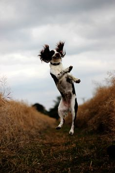 springers can reallly jump, that's why they are called springers!    theanimalblog:  Submitted by: charliefairbairn