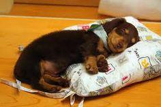 Sleep Baby  #dachshund