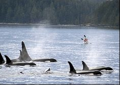 Kayak with Orcas - British Columbia, Canada.  I would so love to do this!