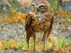 Aruban burrowing owl (Shoco) [OC][4608x3456] - http://ift.tt/1Ve1Wnn