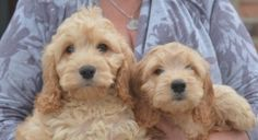 Beautiful Golden Cockapoo Boys And Girls Puppies For Sale Cocker Spaniel English Puppies For Sale Puppies For Sale In Puppies For Sale Puppies Dog Breeder