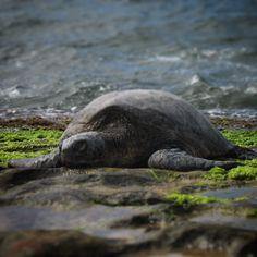 Basking Sea Turtle - Oahu, HI by @firsten