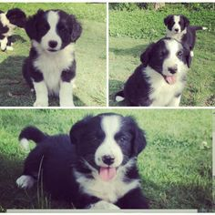 Here's the latest addition to our border collie puppies gallery!  Snippies beautiful babies!  They are adorable beyond words . Just look at them shine. They will be seven weeks on Friday. Most of them already have heartwarming homes. Picture courtesy of Marlize Burger.  #bordercollies #bordercolliepuppies #cutedogs #cutepuppies #bordercolliesofinstagram #bordercolliesrock