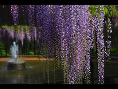 beautiful wisteria curtain
