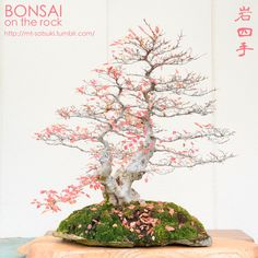 Korean Hornbeam Bonsai on a Rock