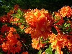 Orange Rhododendron