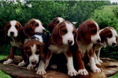 Deutsche Bracke / German Hound Dogs Hound Dog, Hunting Dogs, Puppies, Wallpapers, Animals, German Language, German, Plott Hound, Animaux
