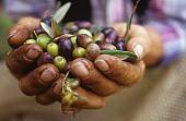 Hands holding fresh olives