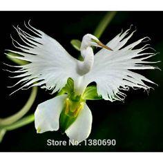 日本白鷺ラジアータの種白蘭の種世界の珍しい白い花蘭の種orchideeガーデン・自宅の植栽