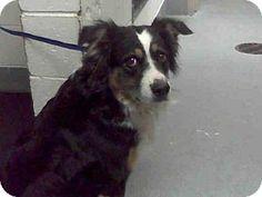 Albuquerque, NM - Australian Shepherd Mix. Meet MELENNA, a dog for adoption. http://www.adoptapet.com/pet/17614396-albuquerque-new-mexico-australian-shepherd-mix