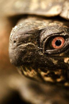 Eye of an eastern box turtle.