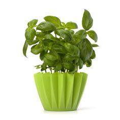 Hvordan dyrke basilikum | Den Lille gartner