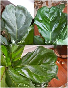 Leaf Fig Tree Care Use Coconut Oil to clean Fiddle Leaf Fig Tree's leaves and make them shine -Whats Ur Home StoryUse Coconut Oil to clean Fiddle Leaf Fig Tree's leaves and make them shine -Whats Ur Home Story Fig Leaves, Tree Leaves, Plant Leaves, Garden Plants, Indoor Plants, Leafy Plants, Fig Plant Indoor, Ficus Tree Indoor, Ficus Lyrata