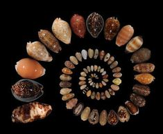 Drawn by their beauty, humans collected cowries for tens of thousands of years. But one species is in danger of being collected to extinction. Seashell Art, Seashell Crafts, Seashell Identification, Big Shell, Sea Crafts, Light Texture, Amazing Nature, Sea Shells, Glass Art