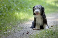 Scotland, Bearded Collie | A Beardie is smart, resourceful, and confident. His bouncy, bubbly personality makes him fun to be with, but when it comes to training he can be an independent thinker who likes to have his own way.