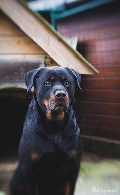 #Lensbaby #Rottweiler