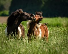 _MRL1153.jpg - Two Icelandic yearlings. Sneaking a kiss when the blackbird isn't watching.