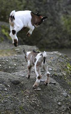 Pigmy Goats - SNEAK ATTACK!!