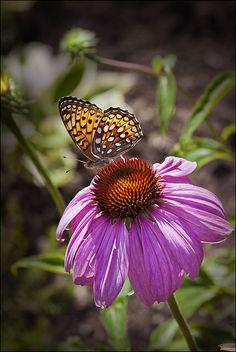 Papillon sur échinacée | Flickr - Photo Sharing!