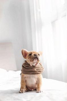 Cute French Bulldog, French Bulldog Puppies, French Bulldogs, Cute Puppies, Cute Dogs, Dogs And Puppies, Doggies, Animals And Pets, Baby Animals
