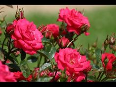 rose bushes - rose bushes care - rose bushes lowes