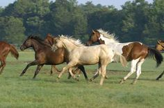 galloping horses Wall Decal