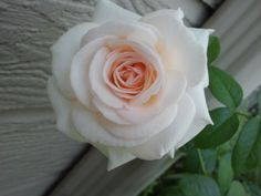 Francis Meilland - Hybrid Tea    A Vision In White – White Roses In Bloom This Week | The Redneck Rosarian