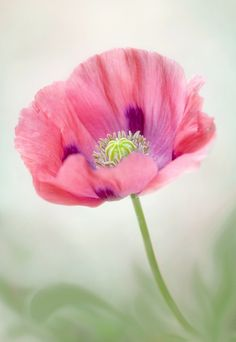 Poppy pop by Mandy Disher, via 500px