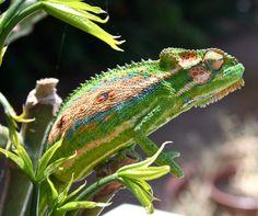 Wildlife Den – South African Wildlife Photography » Cape Dwarf Chameleon