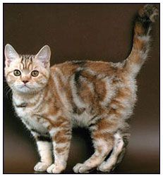 British shorthair cat, chocolate torbie silver classic tabby.  Cool markings.