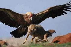California Condor chasing a wolf away from its kill. Condors are a type of vulture and have a wingspan of over nine feet.