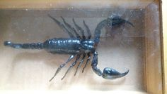 Real Giant Black Scorpion Forest Clear Wooden Frame Education Insect Specimen
