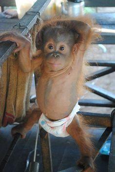 Meet another BABY I have adopted to help feed..Rickina — in Ketapang, Kalimantan Barat. Adopt or donate @ http://redapes.org/