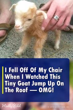 """""""This Footage of Baby Goats Jumping All Over the Place Is Something You Won't Want to Miss"""" — Cute Animals With Funny Captions, Cute Baby Animals, Animals And Pets, Farm Animals, Wild Animals, Cute Animal Videos, Cute Animal Pictures, Funny Babies, Cute Babies"""