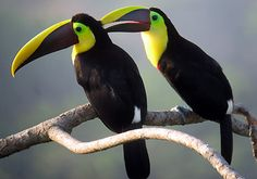 Two toucans  http://www.costaricanbirdroute.com/contact.htm