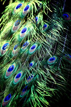 Peacock Feathers... If I ever get a feather tattoo it would for sure be a peacock feather.