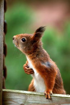 This cute creature eats fruit with enthusiasm. If your home built near a fruit bearing tree, vines or fruit bushes, you have most likely seen squirrels happily hoarding and munching these mount watering fruits. Nature Animals, Woodland Animals, Animals And Pets, Wild Animals, Squirrel Pictures, Cute Animal Pictures, Cute Funny Animals, Cute Baby Animals, Cute Squirrel