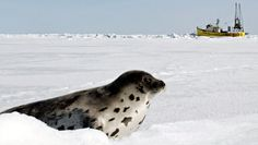 A harp seal looks toward a seal boat in the Gulf of St. Lawrence near P.E.I. in March 2005. A European Union ban on seal products has been suspended after Inuit leaders and other groups challenged its legality.